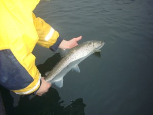 Återutsättning av en godkänd & laglig havsöring som fiskeguiden fångat..